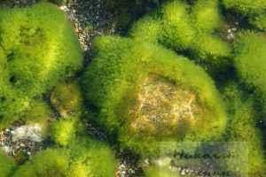 Пресноводные водоросли