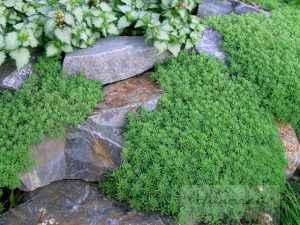 Покровные растения